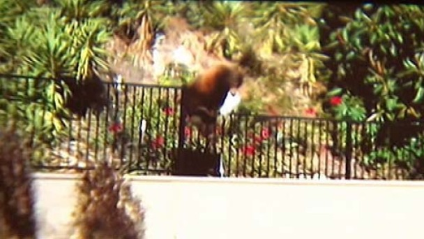 Bear Grabs Trash-Day Snack in Arcadia