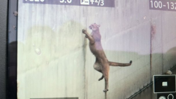 Mountain Lion Tranquilized After Getting Stuck in Aqueduct