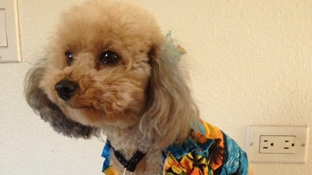 """[BAY] Missing Service Dog """"Love"""" Apparently Found in Oakland"""