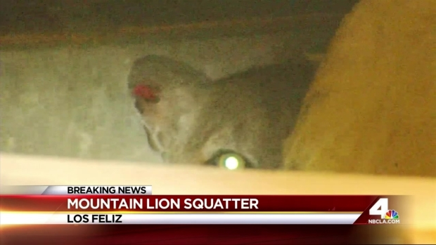 [LA] Mountain Lion P-22 Remains Holed Up Under Home