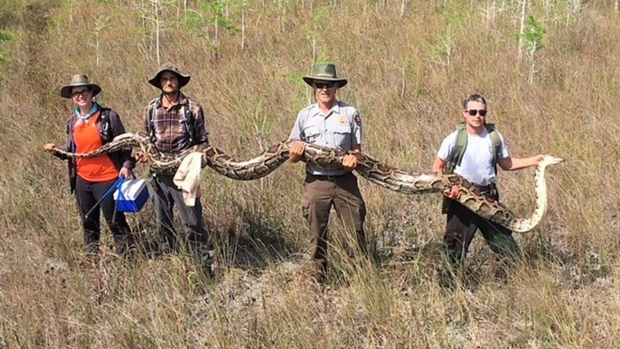 Unbelievable Animal Stories: 140-Lb. Python Found in Florida
