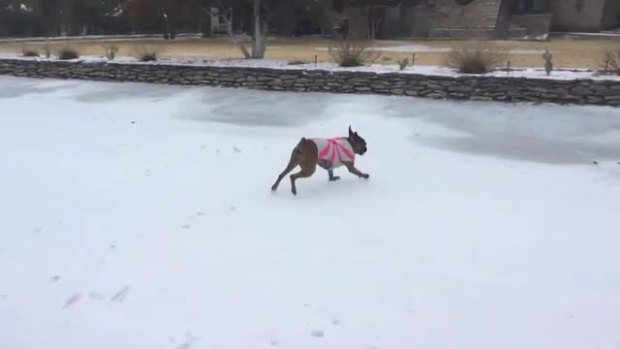 Roxy the Boxer Loves the Ice!