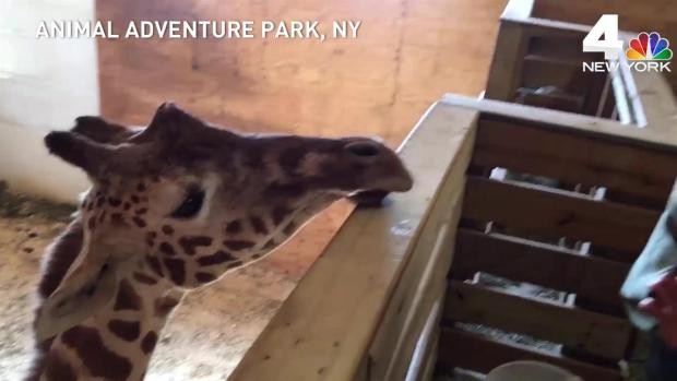 'Giraffe mom' meets April the giraffe after making viral video