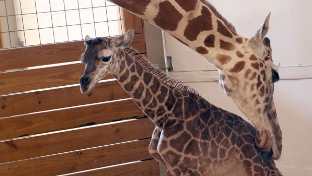 April the giraffe's calf meets his father for the first time