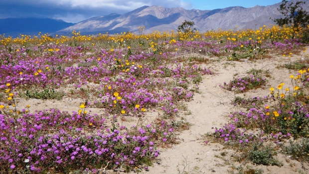[G 2019] Beautiful Blooms: It's Showtime at Anza-Borrego Desert State Park