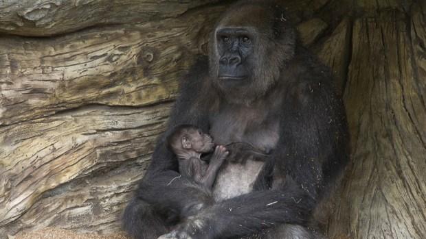 [G] San Diego's Baby Gorilla