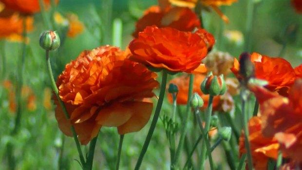 "[DGO] Flower Fields ""Drought-Proof"" in Carlsbad"