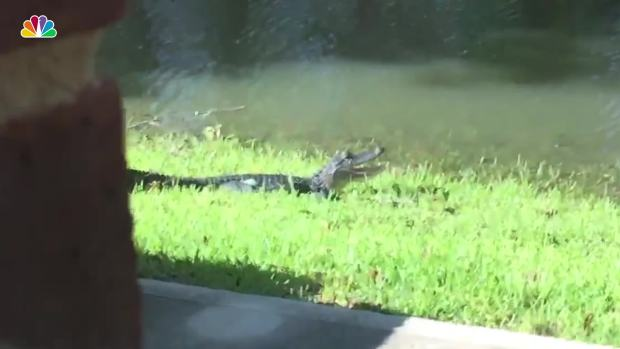 Gator Spotted Sunbathing in Backyard During Harvey