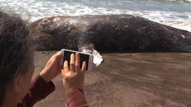 [LA] Dead Whale Draws Crowds After Washing Ashore in Malibu