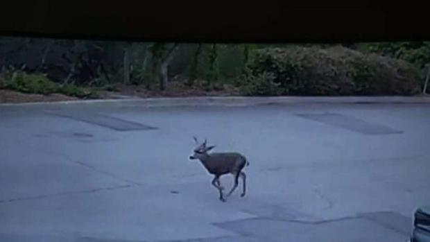 [LA] Deer Shot With Arrow in Monrovia