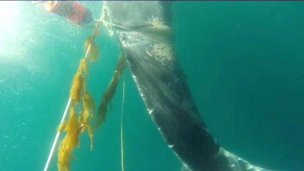 [LA] Entangled Whale Cut Free