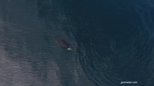 [BAY] Drone Video Shows Pod of Killer Whales Feasting on Shark