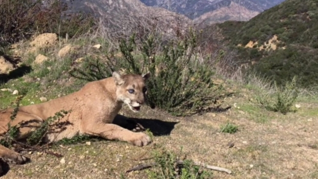 [LA] Drowsy Mountain Lion Wakes Up in the Wild After Azusa Visit
