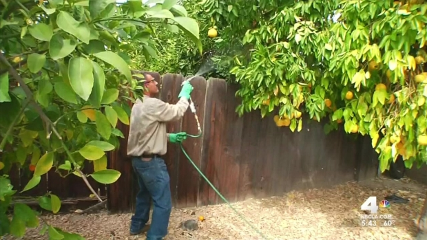 [LA] Insects Threaten CA Citrus Groves