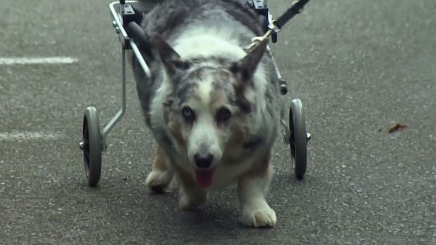 [NATL] K9 Carts Give Pets New Lease on Life