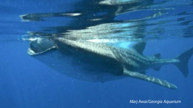 [NATL] New Marine Study Demystifies Whale Sharks