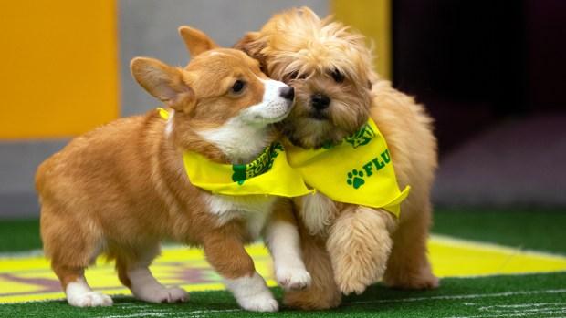 [NATL] Team Ruff vs. Team Fluff: Meet Your 2019 Puppy Bowl Starters