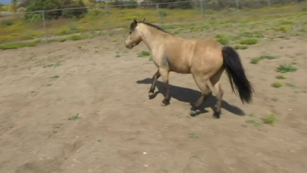 [LA] Stolen Riverside County Pony Named Rumble Reunites With Owner