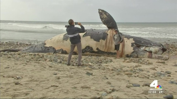 [LA] San Clemente Whale Carcass Draws Visitors