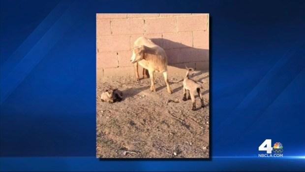 [LA] Senior Prank Turns Into Animal Abuse Investigation