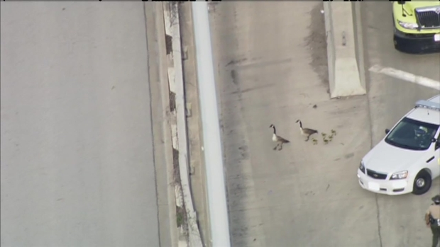 [CHI] Neighbors Flock to See Lost Geese