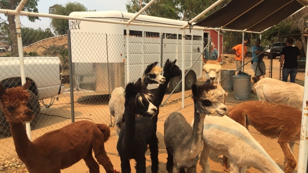 Volunteers Rescue 50 Alpacas From Sand Fire