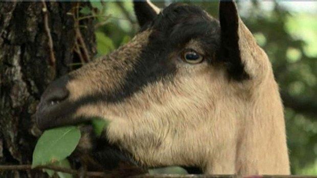 [DFW] Goats Clear Austin Farmer's Market of Poison Ivy