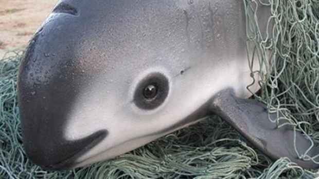 Meet the Vaquita, the Rare Sea Mammal With 30 Members Left