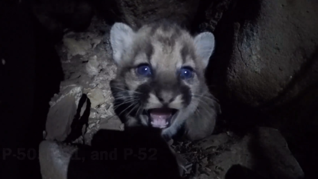 [LA] Mountain Lion Kitten Killed Month After Mother