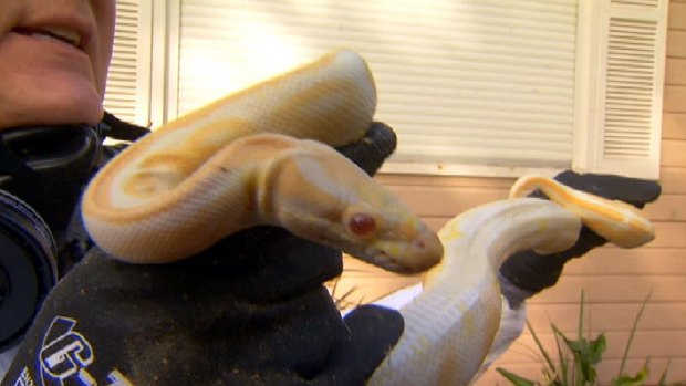 """[LA] Crews Remove """"Docile"""" Pythons From Home"""