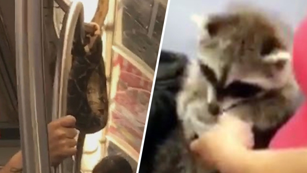 Unbelievable Animals: Raccoon and Snake on NYC Subway
