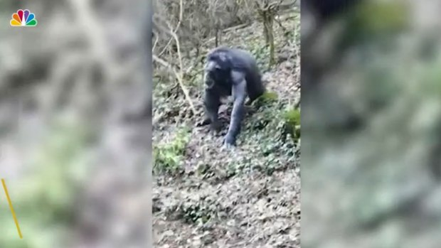 [NATL] Chimpanzees Escape Zoo Enclosure in Northern Ireland