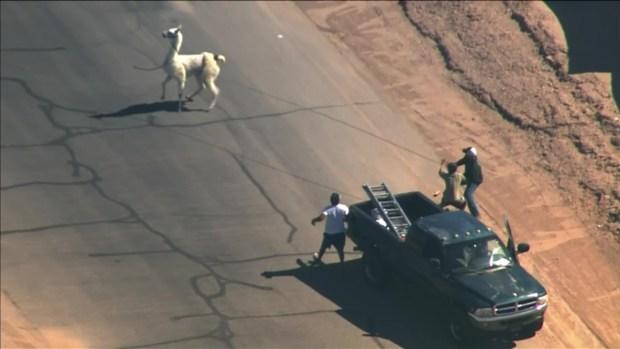 WATCH: Llamas on the Loose