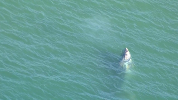 [LA] RAW VIDEO: Gray Whale Seen in Marina del Rey