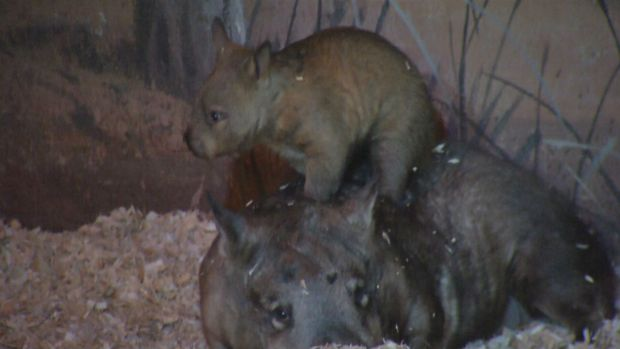 [NATL-CHI] Brookfield Zoo Welcomes Baby Wombat, 1 of Only 9 in US