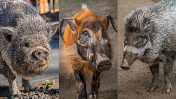 Greet the Year of the Pig with the Pigs of LA Zoo