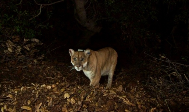 Griffith Park Mountain Lion P-22 Appears in Good Health
