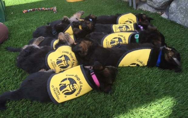 Photos: These Puppies Are Training to Become Guide Dogs