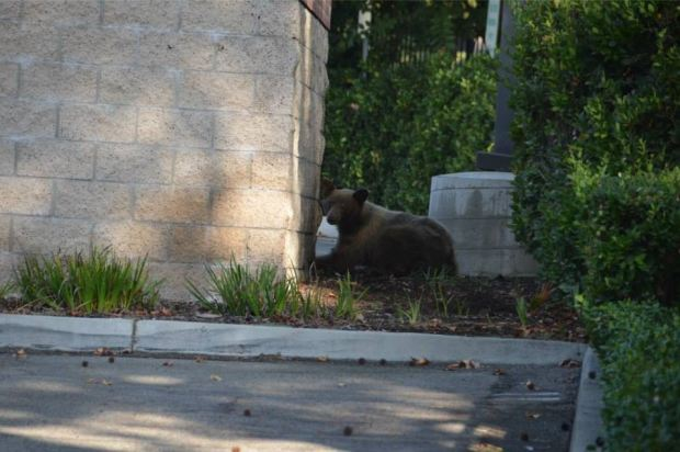 Bear, Cub Reunited After Trash Bin Snack Break in Pasadena
