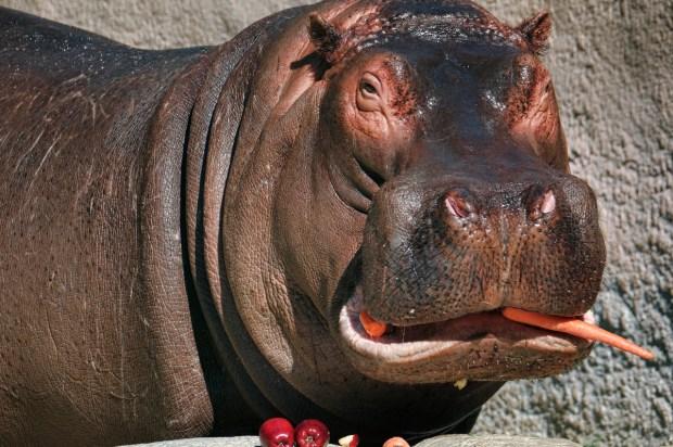 Farewell, Adhama: LA Zoo's Hippo Leaving for Dallas