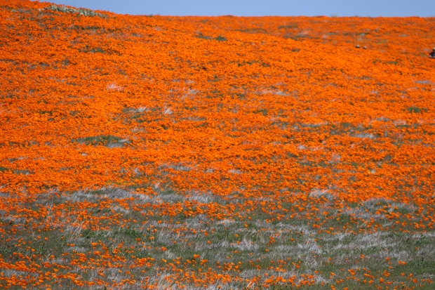 Photos: After Winter's Onslaught of Storms, It's Wildflower Showtime in Southern California