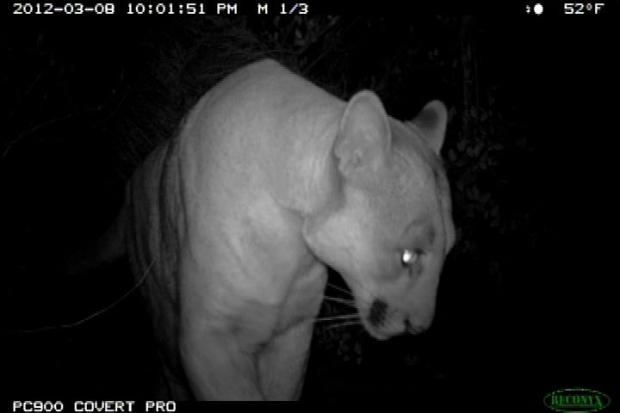 [LA] Griffith Park Puma Poses No Problem: Experts