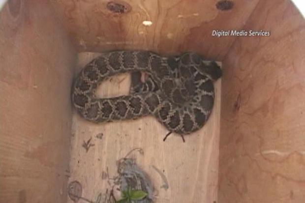 [LA] Rattlesnake Bites Landscaper in Chino Hills