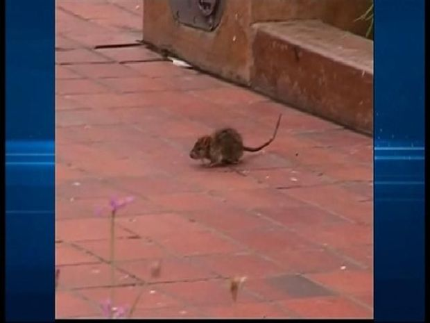 [DGO] Rats Outsmarting Traps