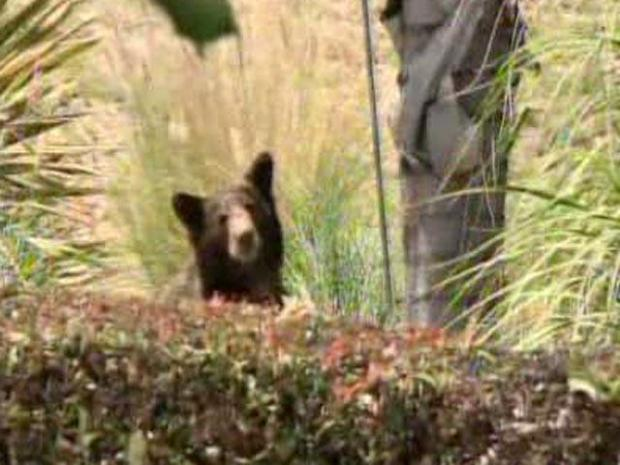 [LA] Raw Ground Video of Bear
