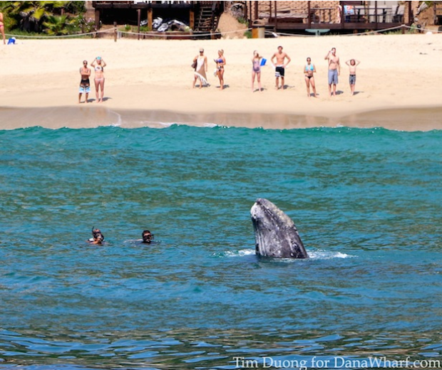 Gray Whales Splash Around Off Coast of Laguna Beach