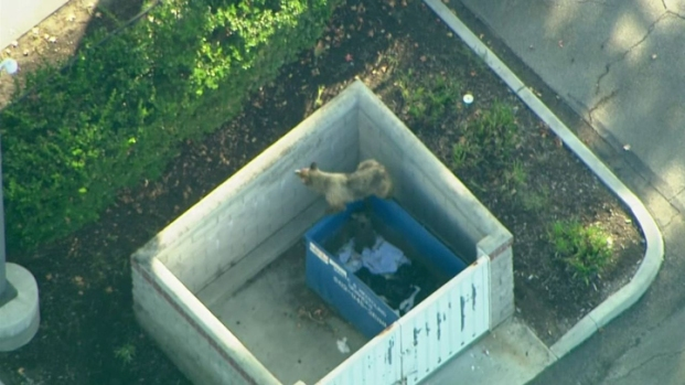 [LA] Bear, Cub Reunited After Trash Bin Snack Break