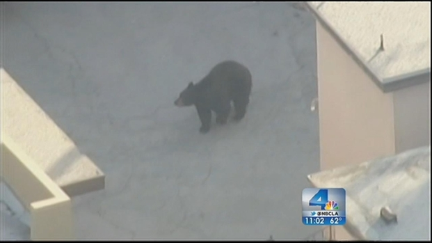 [LA] Banished Bear Returns to La Crescenta