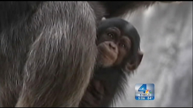 [LA] LA Zoo Investigating Death of Baby Chimp
