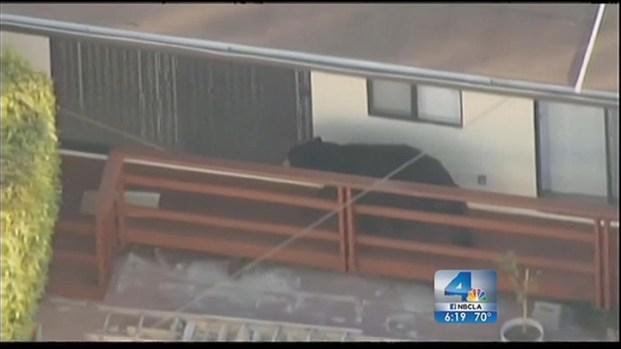 [LA] Glendale Bear Returns After Multiple Attempts to Send Him Home